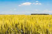 Detail of sheafs of wheat in a field with blue sky in background — Stock Photo