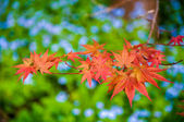 Japanese Maple leaves on a green background — Stock Photo