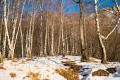Birchwood — Foto Stock