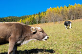 Cows in autumn — Stock Photo