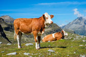 Cow on a mountain meadow — Stock Photo