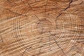 Tree rings — Stock Photo