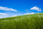 Wheat moved by wind  — Stock Photo