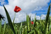 Poppy flower and grass  — Stock Photo