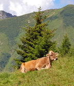 Cow in Alps mountains — Stock Photo