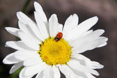 Ladybird and daisy — Stock Photo