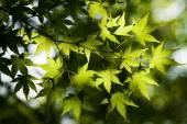 Maple leaves — Stockfoto
