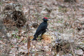 Black woodpecker — Stock Photo