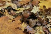 Agaric honey among the yellow leaves. — Stock Photo