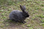 Gray rabbit on the lawn of the spring preparing for the jump. — Stock Photo