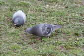 Pigeons are grazing on the grass. — Stock Photo