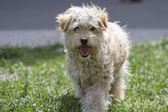 Yard shaggy dog on the green lawn. — Stockfoto