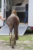 Sport horses are in the trailer for the trip on competitions. — Foto de Stock