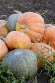 Assembled on the pumpkin harvest. — Stock Photo