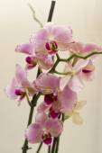 Bright orchid flowers close up. — Stock Photo