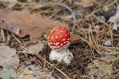 Bright fly agaric in a pine forest. — Stock Photo