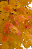 Charming colors of maple leaves in October. — Stock Photo