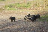 Piglets strolling across the field. — Stock Photo