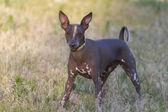 Portrait Xoloitzcuintle. — Stock Photo