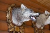 Ev avcı kafasından doldurulmuş kurt. — Stok fotoğraf