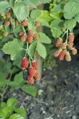Blackberries during maturation. — Stock Photo