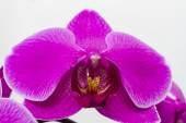 Background of purple orchid flower close-up. — Stock Photo