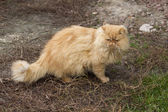 Portrait of red-haired Persian cat. — Foto Stock