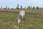 White horse grazing in a field close up. — Stock Photo