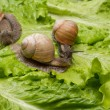 Постер, плакат: Big snail on a green leaf