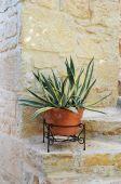 Αgave plant — Foto Stock