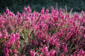 Flowering erica plant — Stock Photo