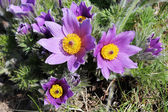 Flowering Pulsatilla — Stock Photo