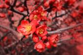 Flowering quince — Stock Photo