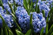 Hyacinth field — Stock Photo