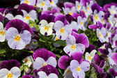 Violet pansies — Stock Photo