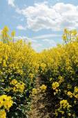 Canola,Oilseed Rape,Biodiesel Crop — Stock Photo