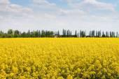 Canola,Oilseed Rape,Biodiesel Crop — Stock Photo