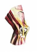 Conjunta anatomia humana do joelho — Vetor de Stock