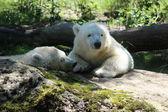 Eisbärbaby — Stock Photo