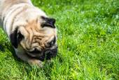 Dog Mops — Stock Photo