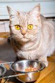 The cat has a cat food — Stockfoto