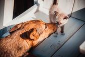 Most dog kisses little kitten — Stock Photo