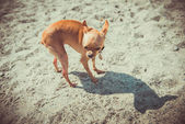 Dog Toy Terrier — Stock Photo