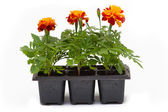 Flowers in pots under background — Stock Photo