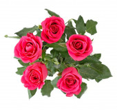 Bright pink roses on a white background. — Stockfoto