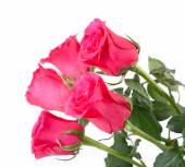 Pink roses on a white background. — Stock Photo