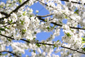 The blossoming cherry against the blue sky. — Stock Photo