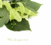 Linden branch with inflorescences on a white background. — Stock Photo