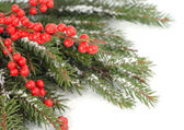 Red berries on snow-covered branches of a Christmas tree on a white background. A Christmas background with a place for the text. — Stock Photo