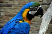 Blue-and-yellow Macaw - Ara ararauna — Stock Photo